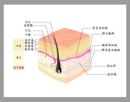 胶原蛋白皮肤结构图